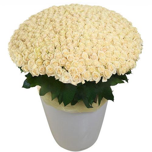 301 белая роза в большом вазоне фото